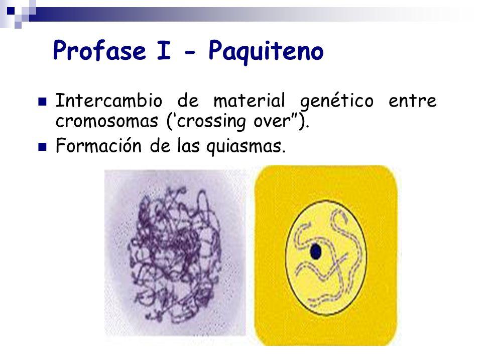 Profase I - Paquiteno Intercambio de material genético entre cromosomas (crossing over). Formación de las quiasmas.
