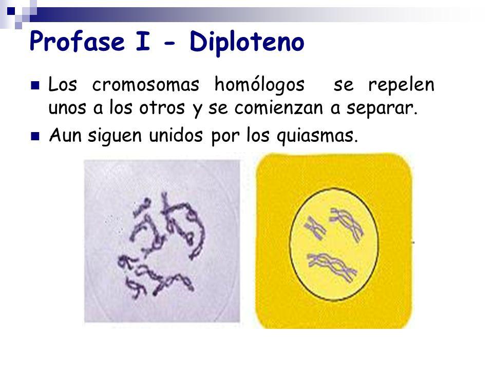 Profase I - Diploteno Los cromosomas homólogos se repelen unos a los otros y se comienzan a separar. Aun siguen unidos por los quiasmas.