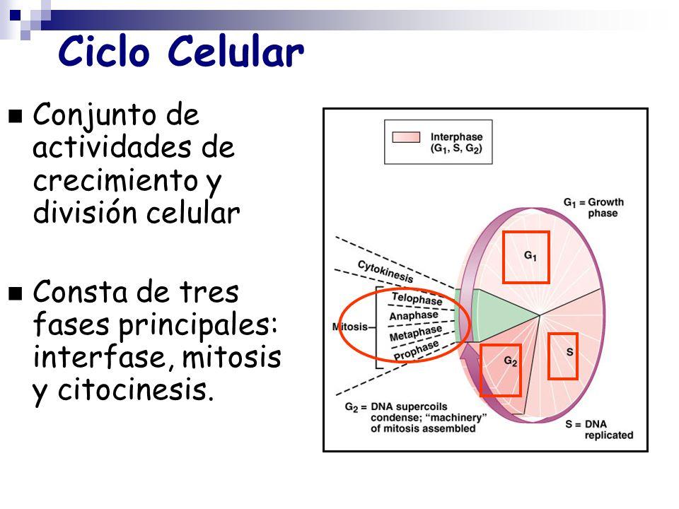 Ciclo Celular Conjunto de actividades de crecimiento y división celular Consta de tres fases principales: interfase, mitosis y citocinesis.