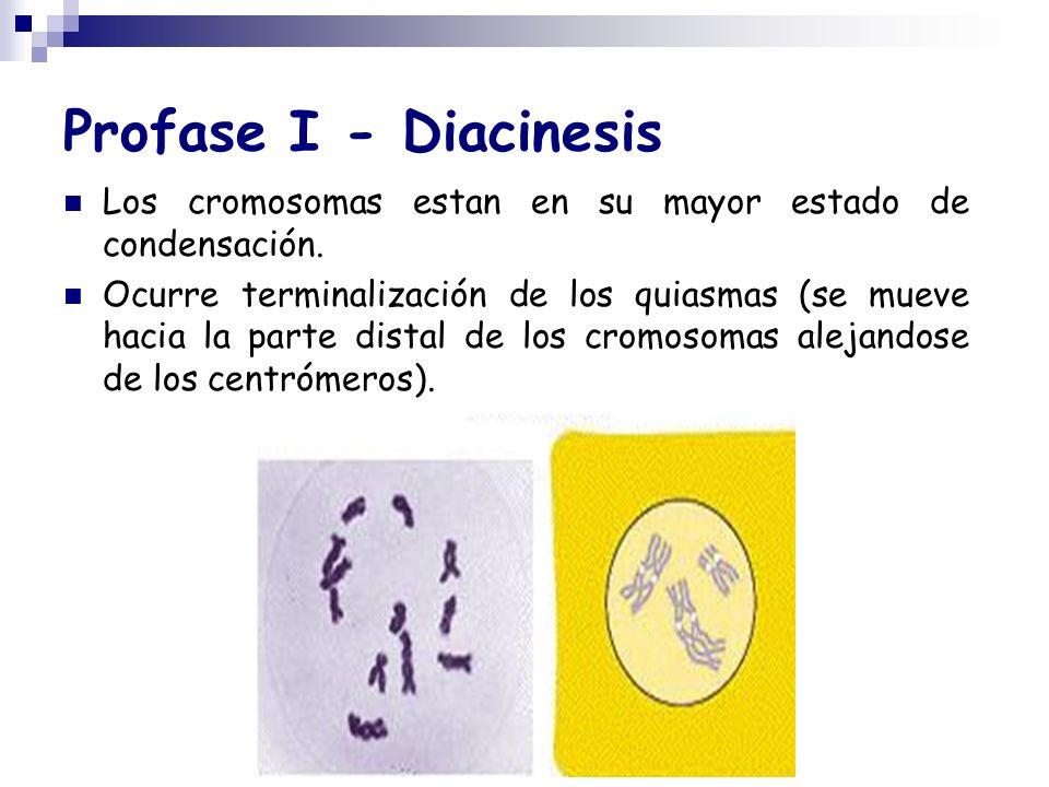 Profase I - Diacinesis Los cromosomas estan en su mayor estado de condensación. Ocurre terminalización de los quiasmas (se mueve hacia la parte distal