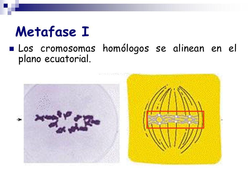 Metafase I Los cromosomas homólogos se alinean en el plano ecuatorial.