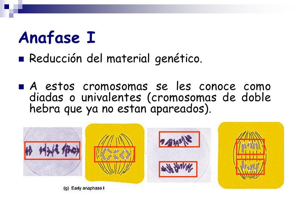 Anafase I Reducción del material genético. A estos cromosomas se les conoce como diadas o univalentes (cromosomas de doble hebra que ya no estan apare