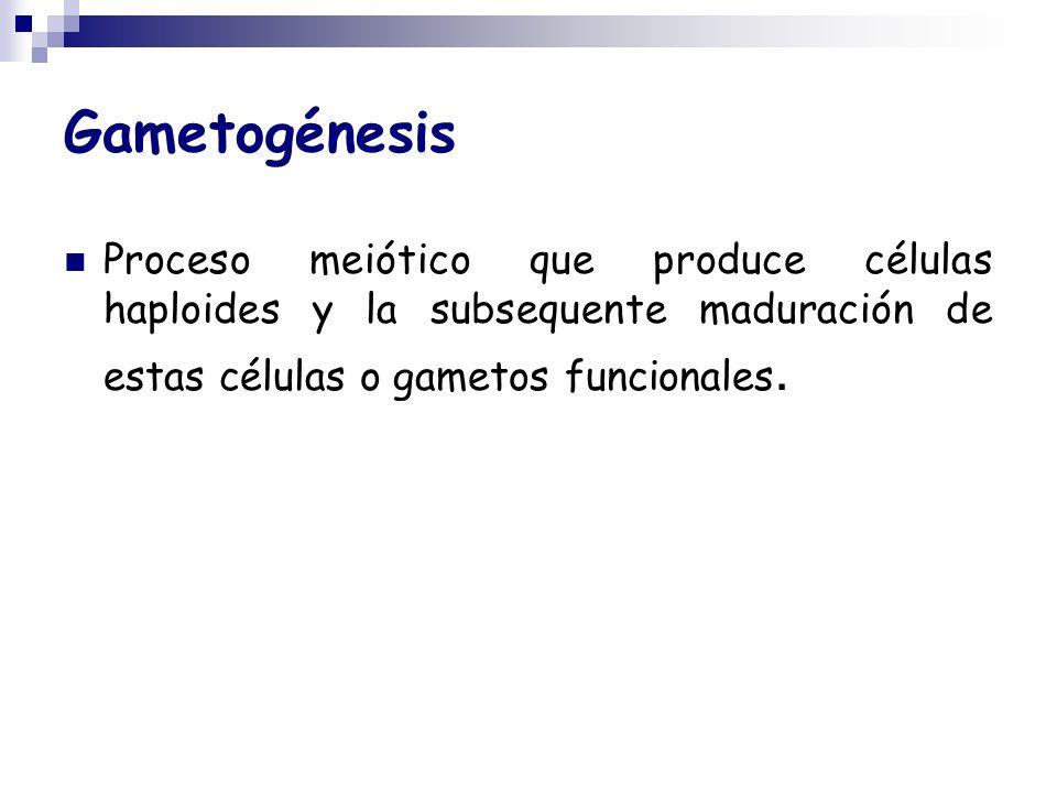 Gametogénesis Proceso meiótico que produce células haploides y la subsequente maduración de estas células o gametos funcionales.