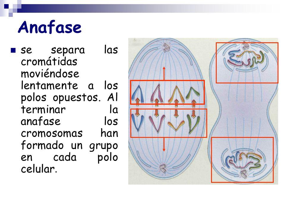 Anafase se separa las cromátidas moviéndose lentamente a los polos opuestos. Al terminar la anafase los cromosomas han formado un grupo en cada polo c