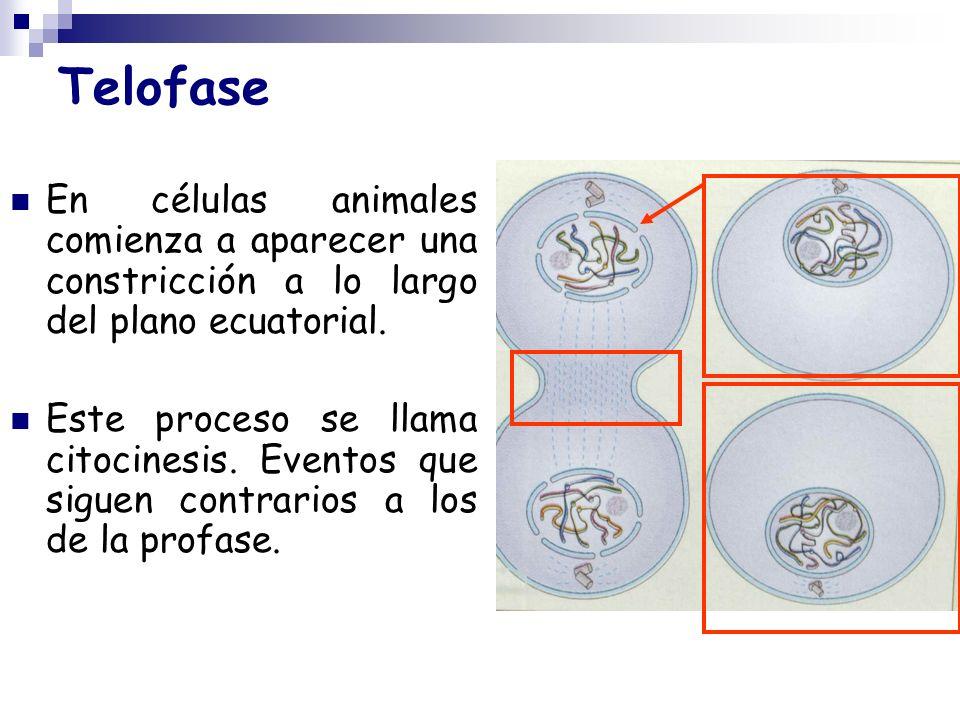 Telofase En células animales comienza a aparecer una constricción a lo largo del plano ecuatorial. Este proceso se llama citocinesis. Eventos que sigu