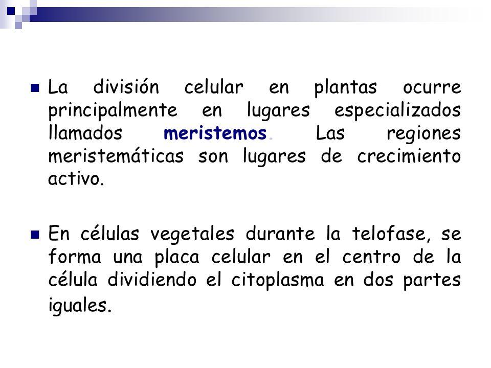 La división celular en plantas ocurre principalmente en lugares especializados llamados meristemos. Las regiones meristemáticas son lugares de crecimi