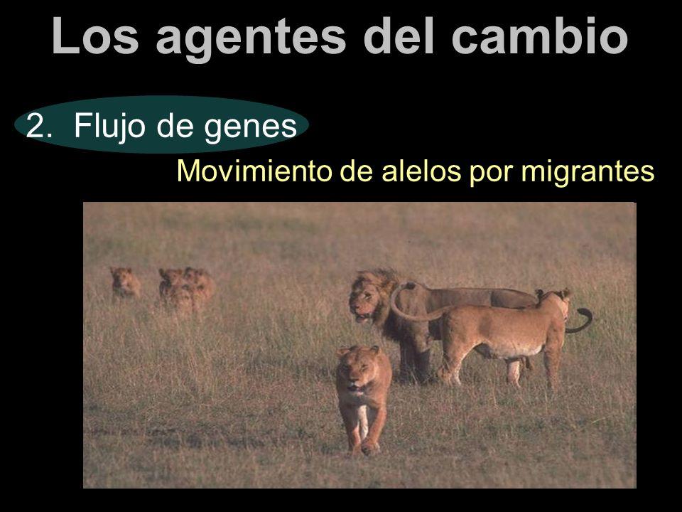Los agentes del cambio 2. Flujo de genes Movimiento de alelos por migrantes
