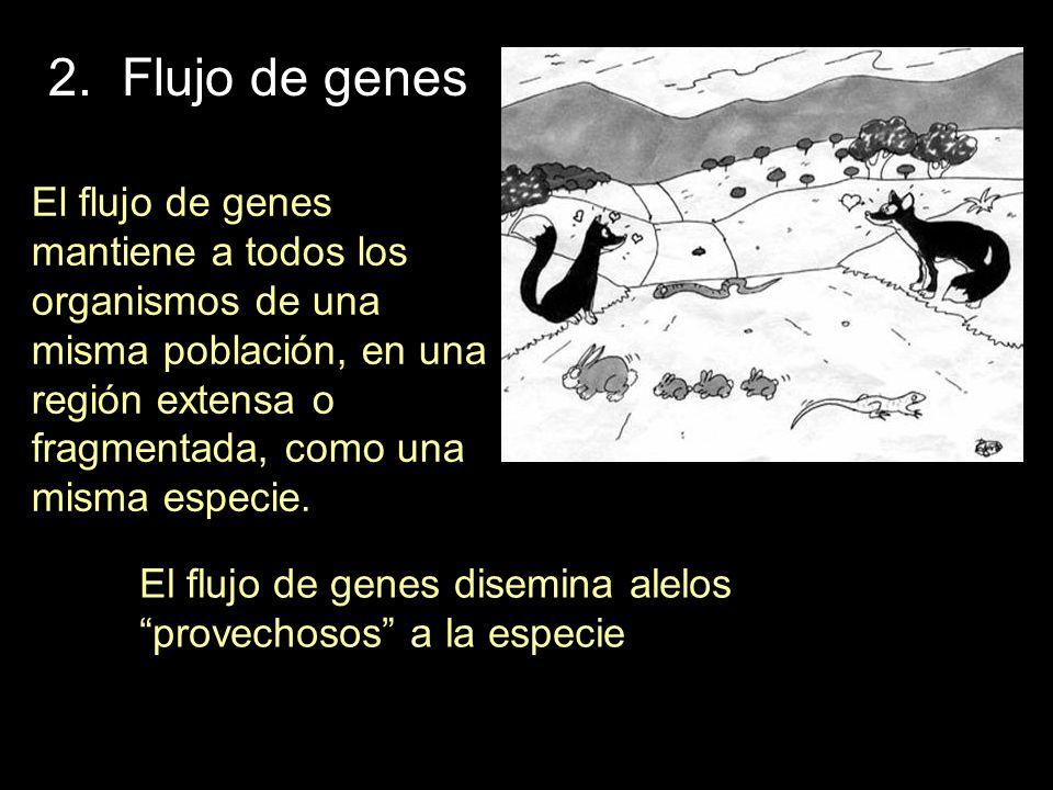 El flujo de genes disemina alelos provechosos a la especie El flujo de genes mantiene a todos los organismos de una misma población, en una región ext