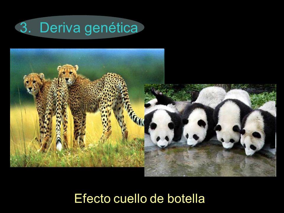 3. Deriva genética Efecto cuello de botella