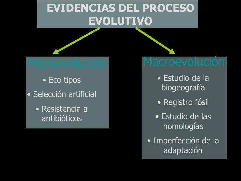 EVIDENCIAS DEL PROCESO EVOLUTIVO Microevolución Macroevolución Estudio de la biogeografía Registro fósil Estudio de las homologías Imperfección de la