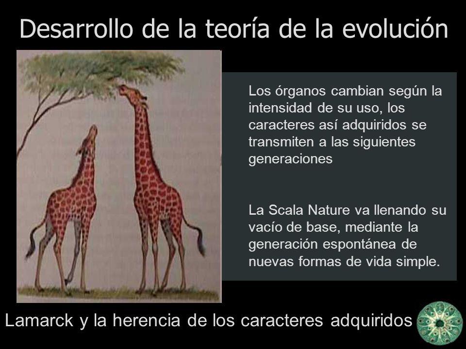 Desarrollo de la teoría de la evolución Lamarck y la herencia de los caracteres adquiridos Los órganos cambian según la intensidad de su uso, los cara