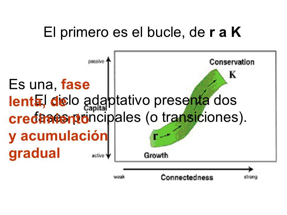 El ciclo adaptativo presenta dos fases principales (o transiciones). El primero es el bucle, de r a K Es una, fase lenta, de crecimiento y acumulación