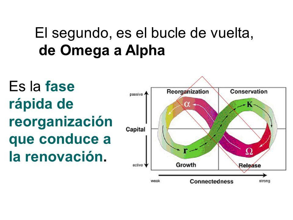 El segundo, es el bucle de vuelta, de Omega a Alpha Es la fase rápida de reorganización que conduce a la renovación.