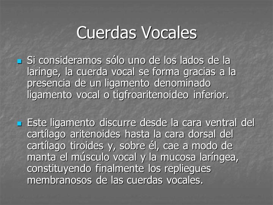 Cuerdas Vocales Si consideramos sólo uno de los lados de la laringe, la cuerda vocal se forma gracias a la presencia de un ligamento denominado ligamento vocal o tigfroaritenoideo inferior.