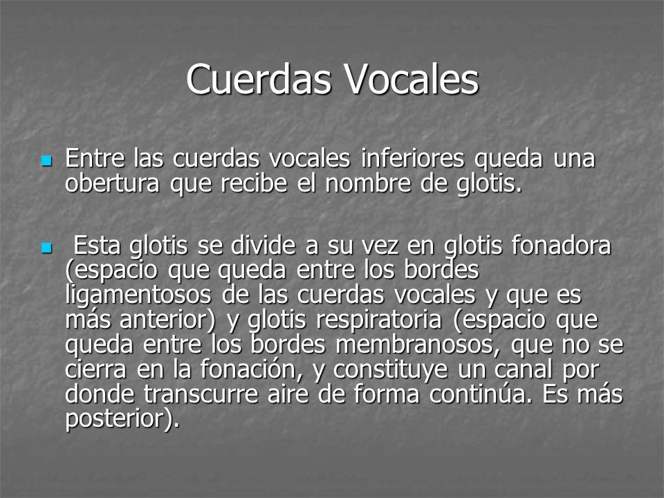Cuerdas Vocales Hay 4 cuerdas vocales: Hay 4 cuerdas vocales: 2 superiores (bandas ventriculares), que no participan en la articulación de la voz.[falsas] 2 superiores (bandas ventriculares), que no participan en la articulación de la voz.[falsas] 2 inferiores, las verdaderas cuerdas vocales, responsables de la producción de la voz.[verdaderas] 2 inferiores, las verdaderas cuerdas vocales, responsables de la producción de la voz.[verdaderas] Las dos cuerdas inferiores son dos pequeños músculos elásticos, denominados clínicamente músculo vocal: Las dos cuerdas inferiores son dos pequeños músculos elásticos, denominados clínicamente músculo vocal: Si se abren y se recogen a los lados, el aire pasa libremente, sin hacer presión: respiramos.