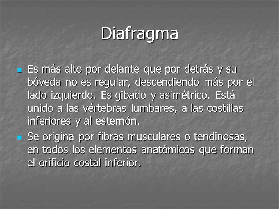 Diafragma Es más alto por delante que por detrás y su bóveda no es regular, descendiendo más por el lado izquierdo. Es gibado y asimétrico. Está unido