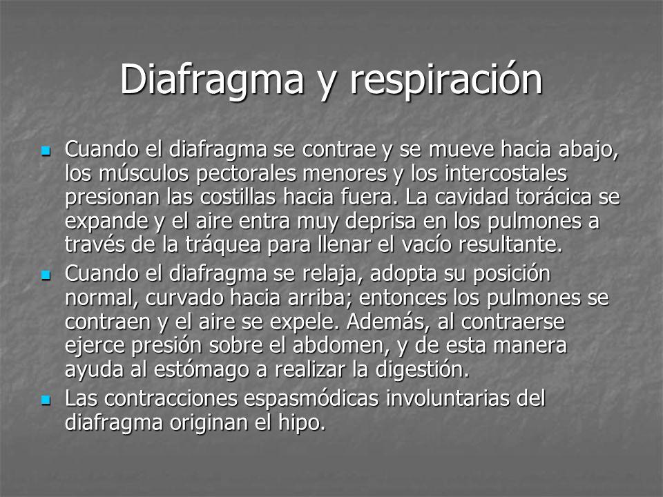 Diafragma y respiración Cuando el diafragma se contrae y se mueve hacia abajo, los músculos pectorales menores y los intercostales presionan las costillas hacia fuera.