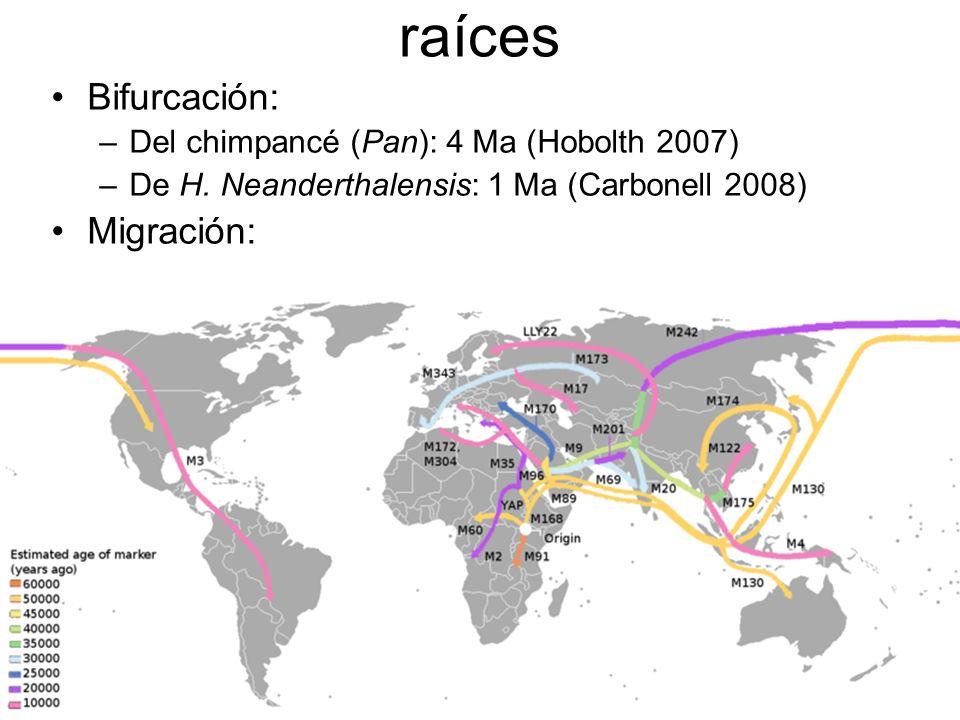 raíces Bifurcación: –Del chimpancé (Pan): 4 Ma (Hobolth 2007) –De H.