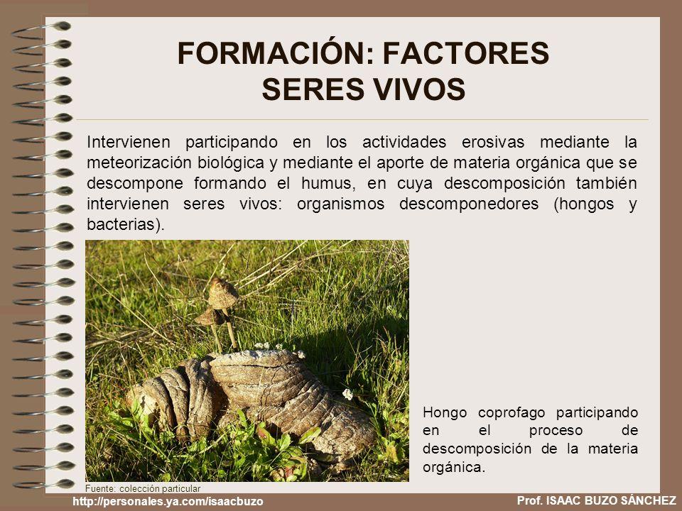 FORMACIÓN: FACTORES SERES VIVOS Intervienen participando en los actividades erosivas mediante la meteorización biológica y mediante el aporte de mater