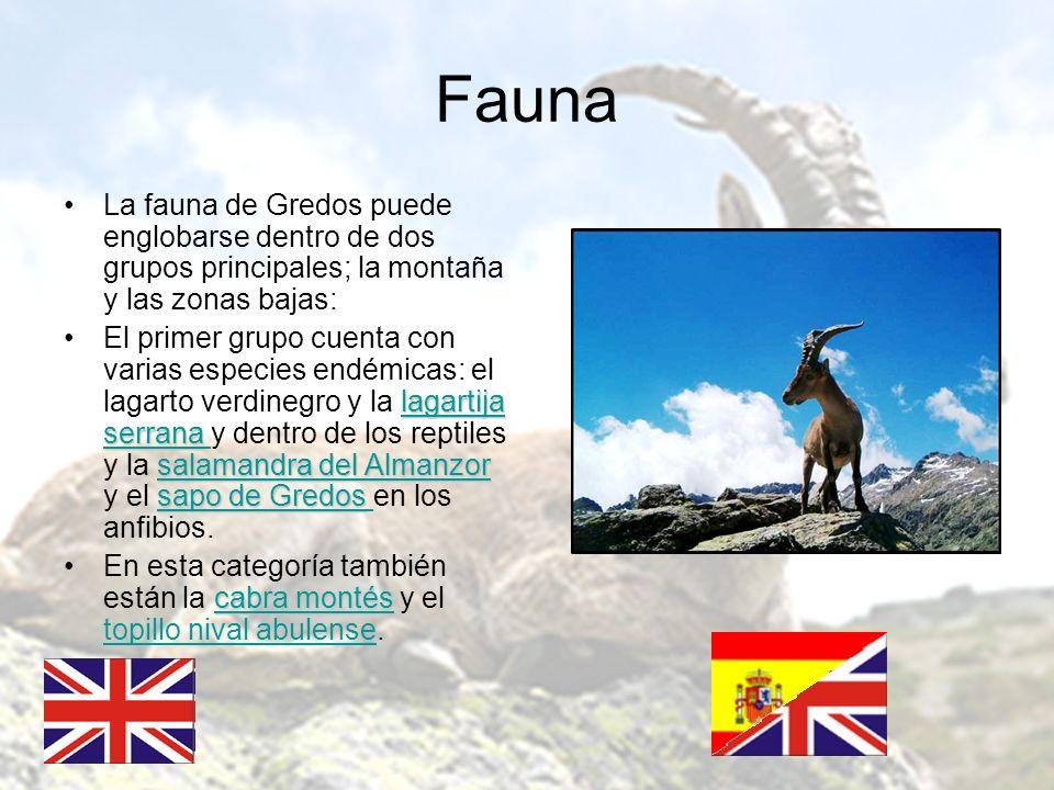 Fauna La fauna de Gredos puede englobarse dentro de dos grupos principales; la montaña y las zonas bajas: lagartija serrana salamandra del Almanzor sa