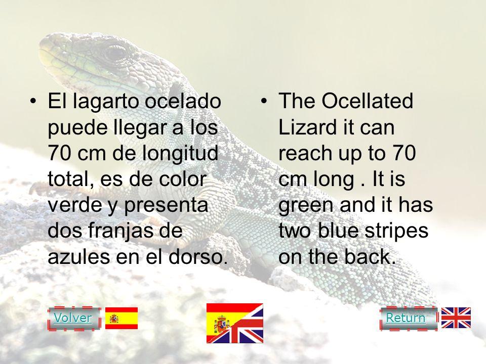 OCELLATED LIZARD LAGARTO OCELADO El lagarto ocelado puede llegar a los 70 cm de longitud total, es de color verde y presenta dos franjas de azules en
