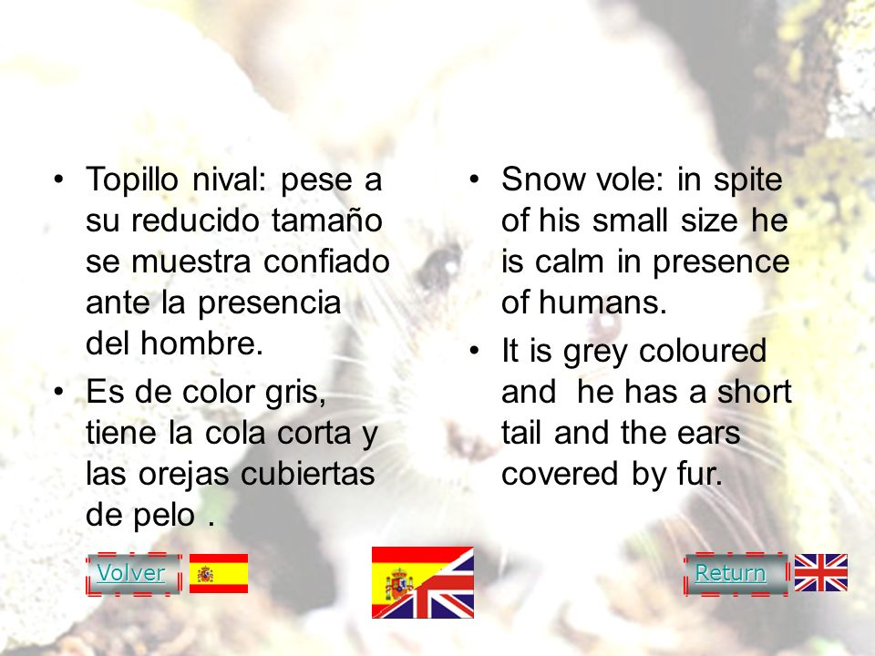 SNOW VOLE TOPILLO NIVAL Topillo nival: pese a su reducido tamaño se muestra confiado ante la presencia del hombre. Es de color gris, tiene la cola cor