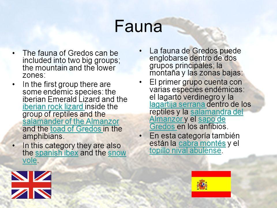 Fauna La fauna de Gredos puede englobarse dentro de dos grupos principales; la montaña y las zonas bajas: lagartija serrana salamandra del Almanzorsap