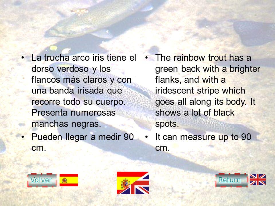RAINBOW TROUT La trucha arco iris tiene el dorso verdoso y los flancos más claros y con una banda irisada que recorre todo su cuerpo. Presenta numeros