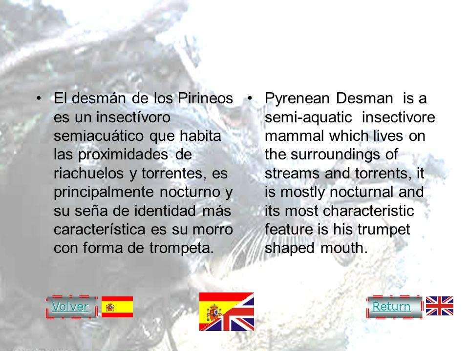 DESMAN OF THE PYRENEES El desmán de los Pirineos es un insectívoro semiacuático que habita las proximidades de riachuelos y torrentes, es principalmen