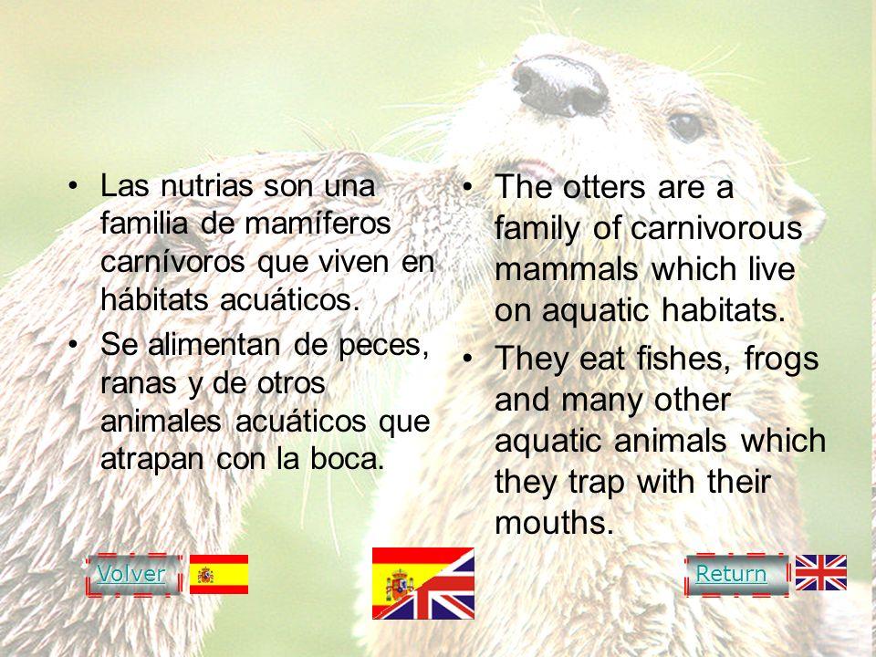 OTTER Las nutrias son una familia de mamíferos carnívoros que viven en hábitats acuáticos. Se alimentan de peces, ranas y de otros animales acuáticos