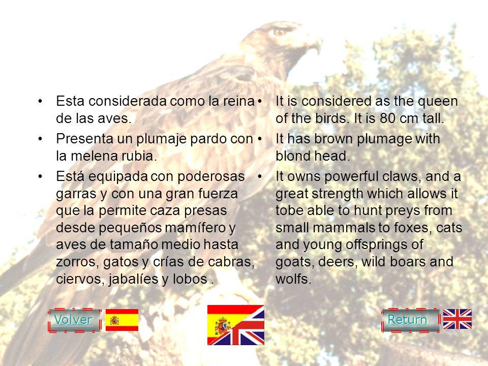 GOLDEN EAGLE Esta considerada como la reina de las aves. Presenta un plumaje pardo con la melena rubia. Está equipada con poderosas garras y con una g