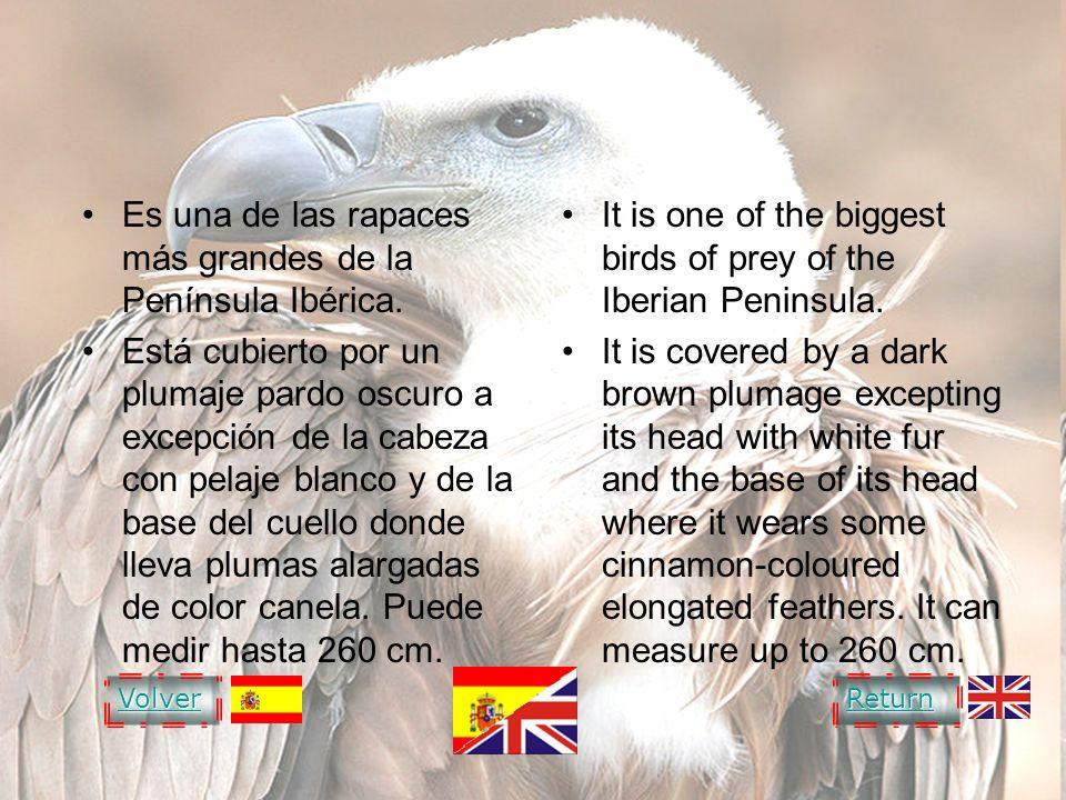 GRIFFON VULTURE Es una de las rapaces más grandes de la Península Ibérica. Está cubierto por un plumaje pardo oscuro a excepción de la cabeza con pela
