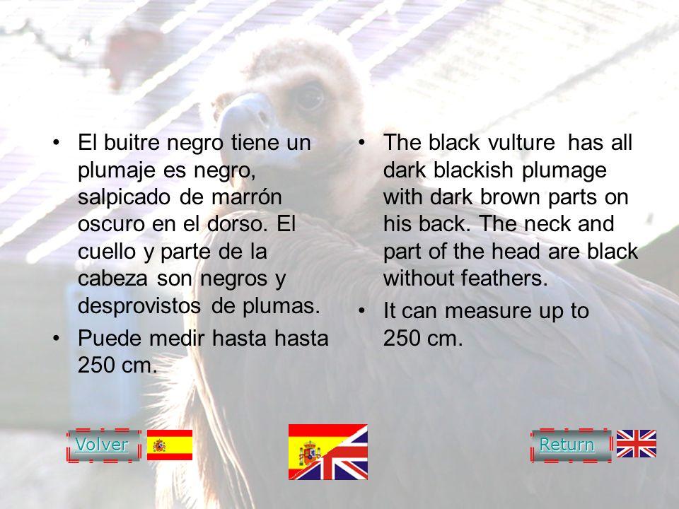 BLACK VULTURE El buitre negro tiene un plumaje es negro, salpicado de marrón oscuro en el dorso. El cuello y parte de la cabeza son negros y desprovis