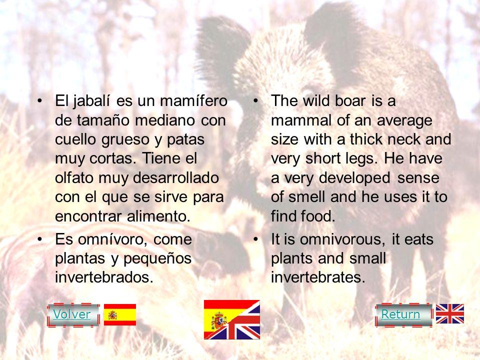 WILD BOAR El jabalí es un mamífero de tamaño mediano con cuello grueso y patas muy cortas. Tiene el olfato muy desarrollado con el que se sirve para e