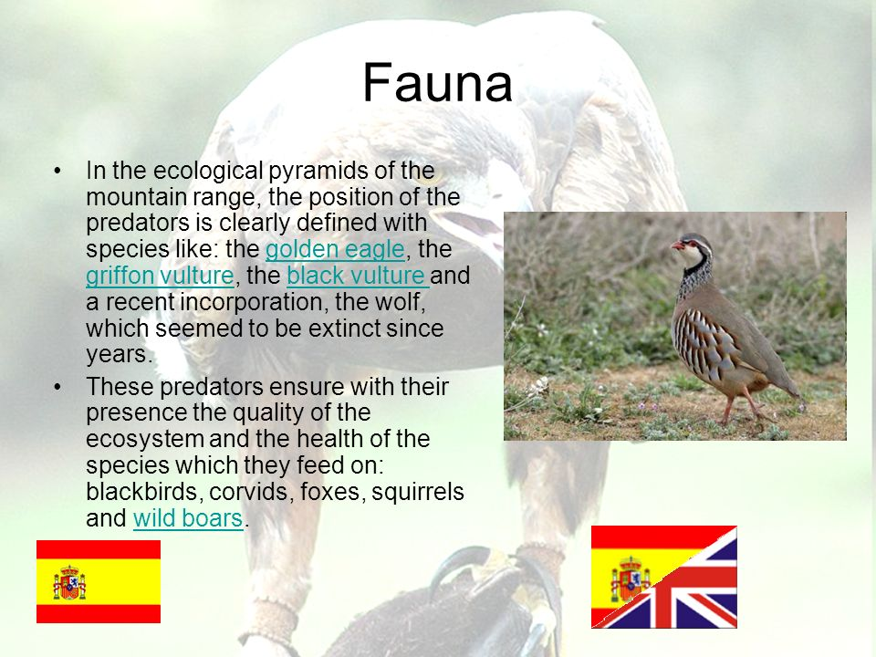 Fauna In the ecological pyramids of the mountain range, the position of the predators is clearly defined with species like: the golden eagle, the griffon vulture, the black vulture and a recent incorporation, the wolf, which seemed to be extinct since years.golden eagle griffon vultureblack vulture These predators ensure with their presence the quality of the ecosystem and the health of the species which they feed on: blackbirds, corvids, foxes, squirrels and wild boars.wild boars