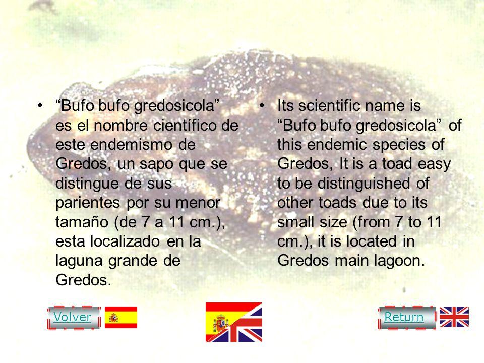 VVVV oooo llll vvvv eeee rrrr RRRR eeee tttt uuuu rrrr nnnn COMMON TOAD OF GREDOS Bufo bufo gredosicola es el nombre científico de este endemismo de G