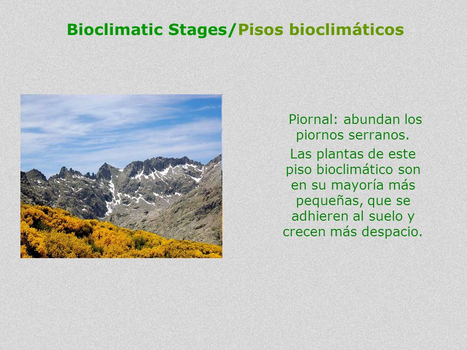 Piornal (broom communities): the plants of this bioclimatic stage are mostly smaller except the dominant broom. They adhere to the soil and grow slowe