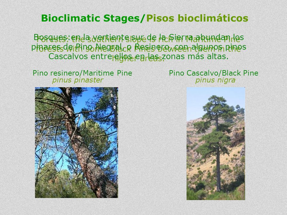 Forests: the southern slope is rich in Maritime Pine forests with some Black Pines between them in the higher areas. Bosques:en la vertiente sur de la