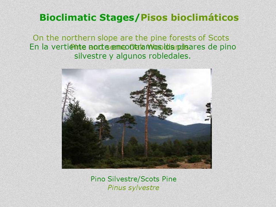On the northern slope are the pine forests of Scots Pine and some Oak Woodlands. En la vertiente norte encontramos los pinares de pino silvestre y alg