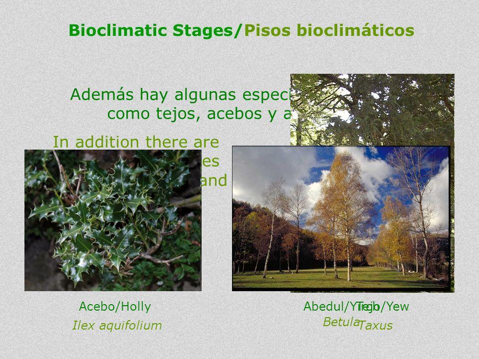 In addition there are some unique species such as Yew, Holly and Birch. Además hay algunas especies singulares como tejos, acebos y abedules. Bioclima