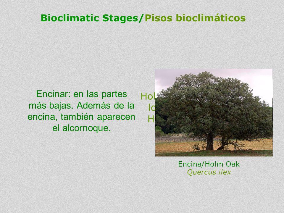 Holm Oak woodland: in the lower parts. Besides the Holm Oak, the Cork Oak also appears. Encinar: en las partes más bajas. Además de la encina, también