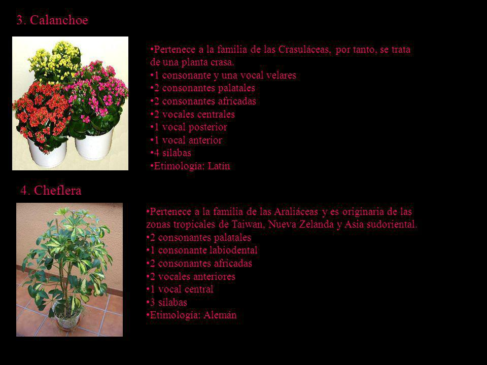 3. Calanchoe 4. Cheflera Pertenece a la familia de las Crasuláceas, por tanto, se trata de una planta crasa. 1 consonante y una vocal velares 2 conson