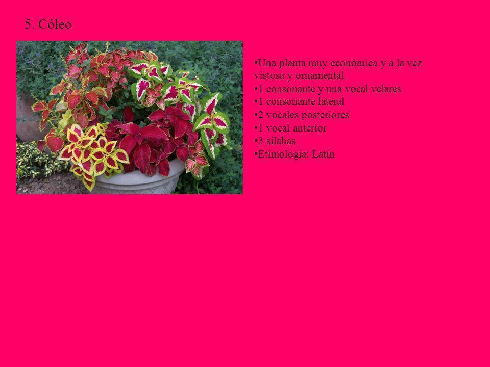 5. Cóleo Una planta muy económica y a la vez vistosa y ornamental. 1 consonante y una vocal velares 1 consonante lateral 2 vocales posteriores 1 vocal