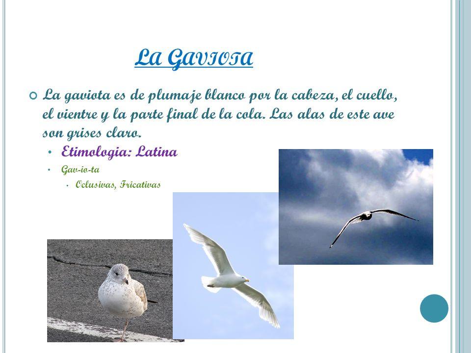 L A G AVIOTA La gaviota es de plumaje blanco por la cabeza, el cuello, el vientre y la parte final de la cola. Las alas de este ave son grises claro.
