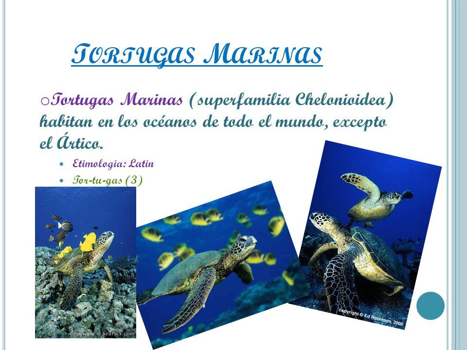 T ORTUGAS M ARINAS o Tortugas Marinas (superfamilia Chelonioidea) habitan en los océanos de todo el mundo, excepto el Ártico. Etimologia: Latin Tor-tu
