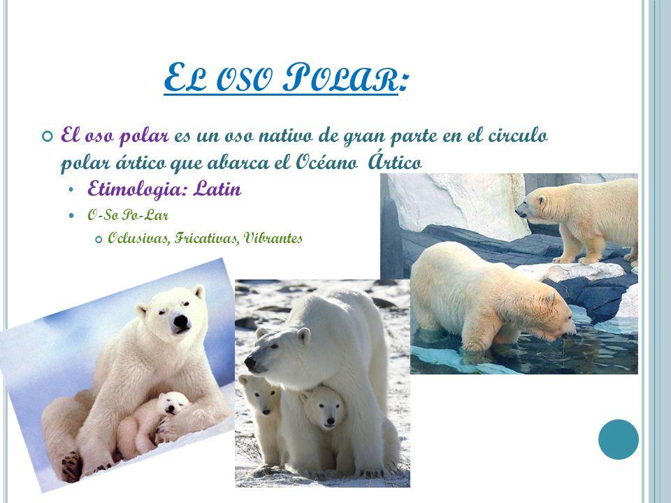 E L OSO P OLAR : El oso polar es un oso nativo de gran parte en el circulo polar ártico que abarca el Océano Ártico Etimologia: Latin O-So Po-Lar Oclu