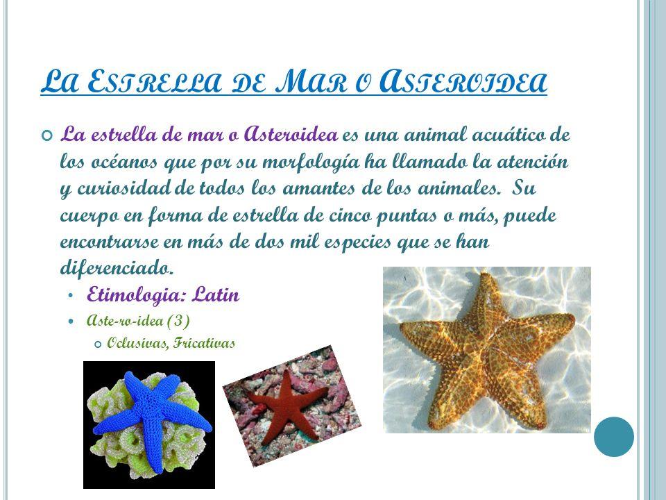 L A E STRELLA DE M AR O A STEROIDEA La estrella de mar o Asteroidea es una animal acuático de los océanos que por su morfología ha llamado la atención