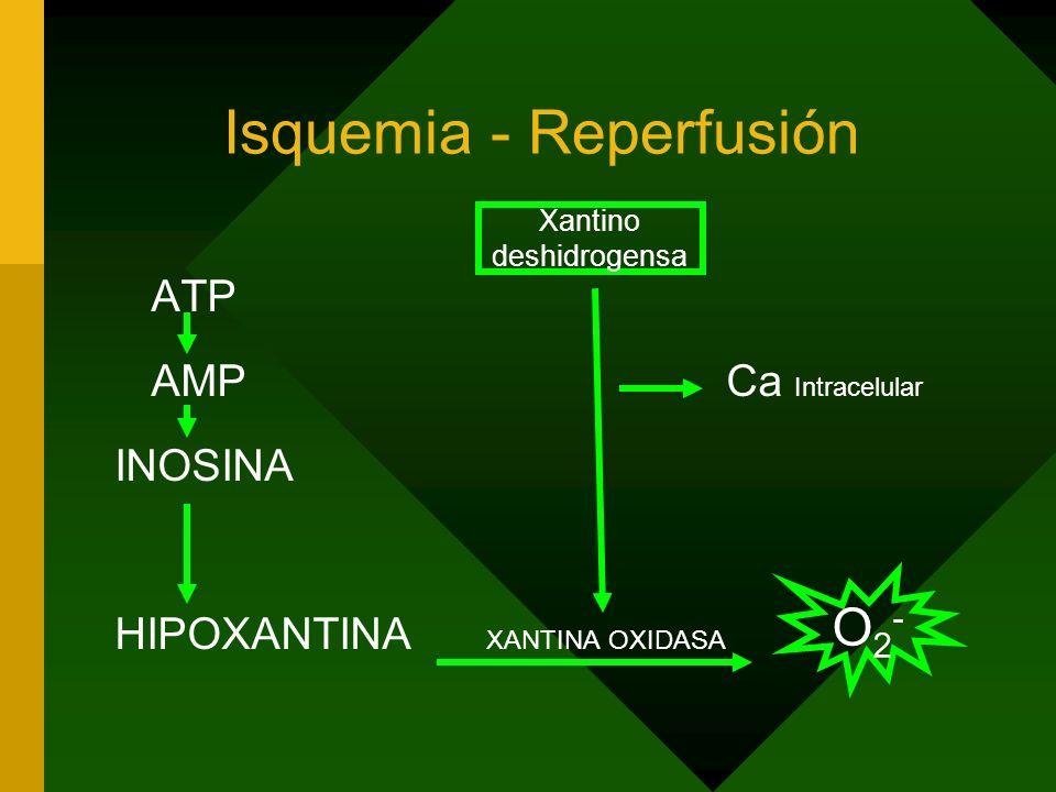 Isquemia - Reperfusión ATP AMP Ca Intracelular INOSINA HIPOXANTINA XANTINA OXIDASA Xantino deshidrogensa O2-O2-