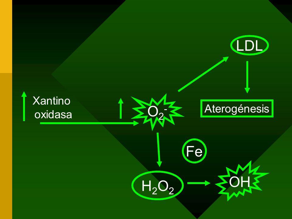 Xantino oxidasa O2-O2- Aterogénesis LDL H2O2H2O2 OH Fe