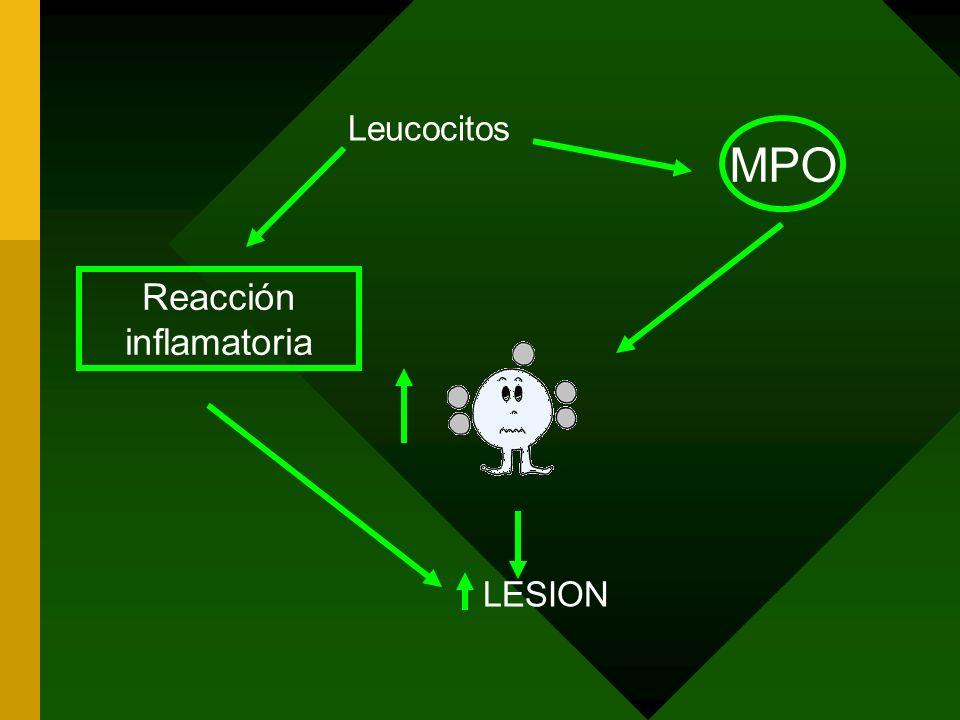 Leucocitos LESION Reacción inflamatoria MPO